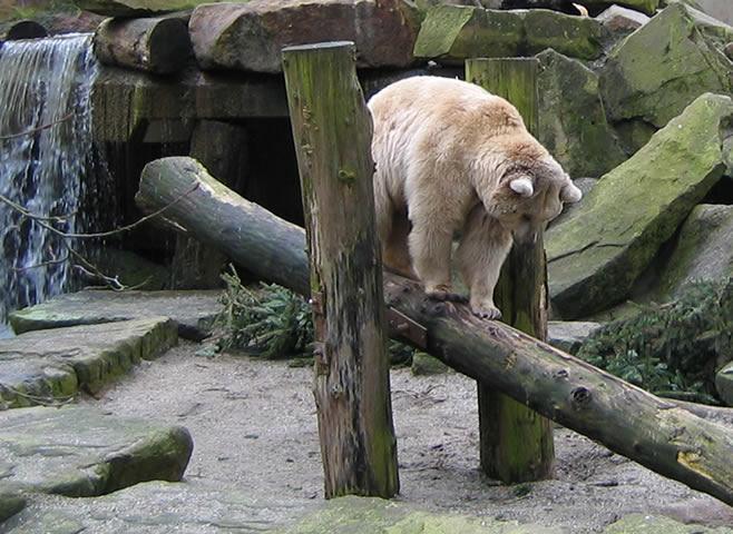 13.03.2005  Bär auf der Wippe (Allwetterzoo)