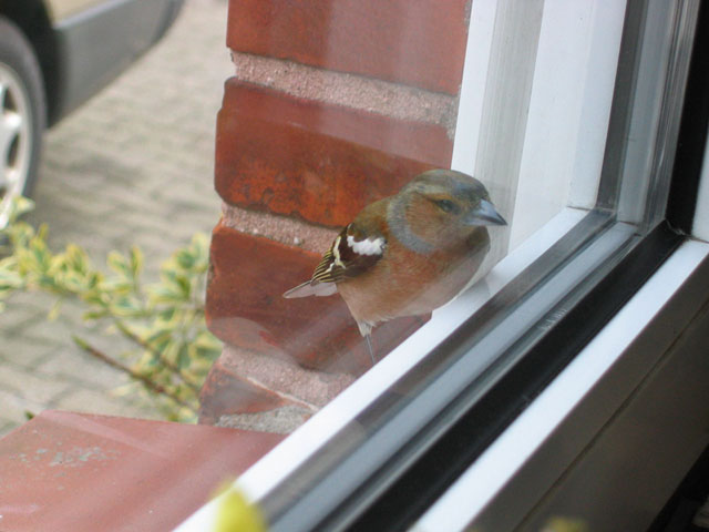 27.03.2005  Buchfink am Fenster