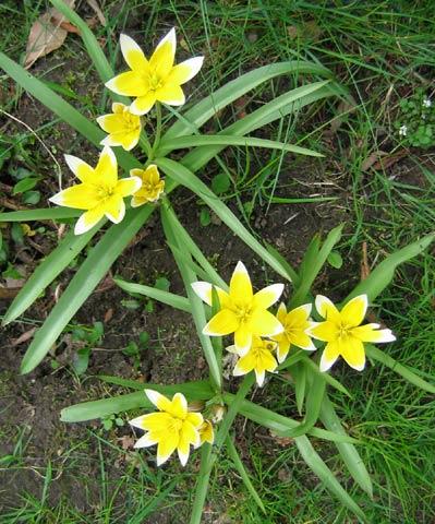 14.04.2005  Wildtulpen