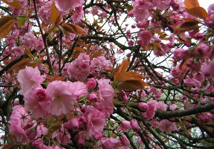 18.04.2005  Japanische Kirsche