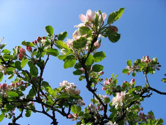 23.04.2005  Apfelblüten