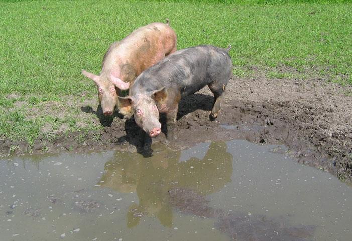 16.05.2005  Schweine