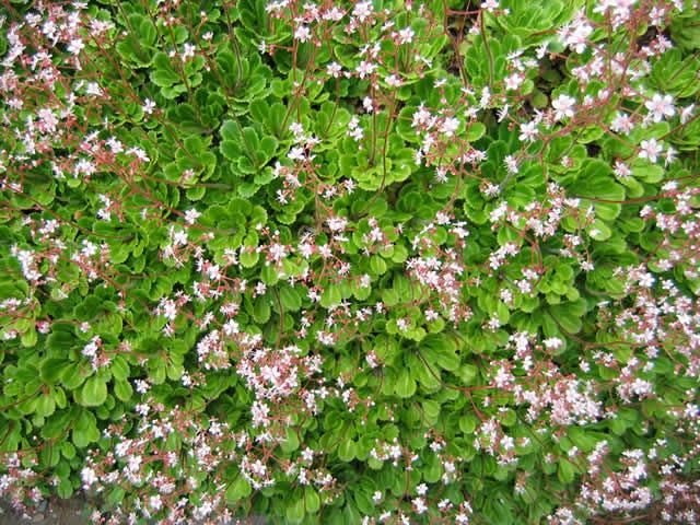 21.05.2005  Porzellanblümchen