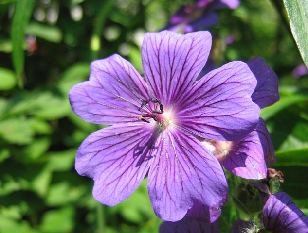15.06.2005  Storchschnabel
