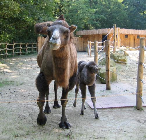 29.08.2005  Kamele