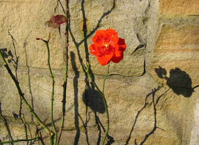 31.08.2005  Rose