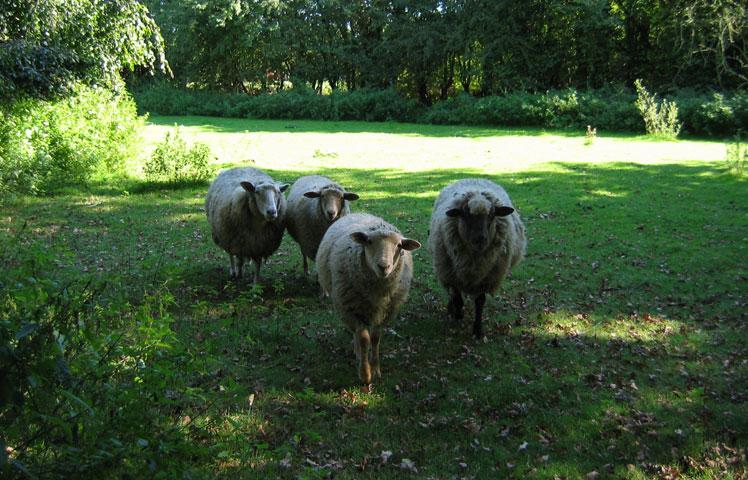 18.09.2005  Schafe