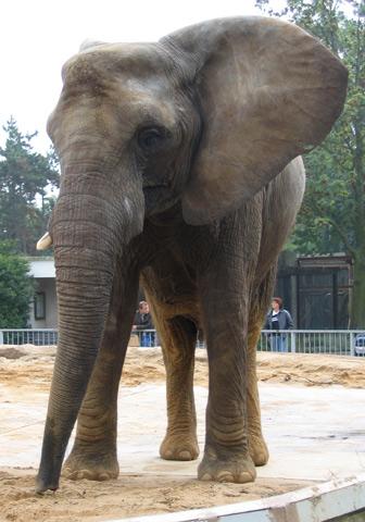 03.10.2005  Elefant im Zoo Magdeburg