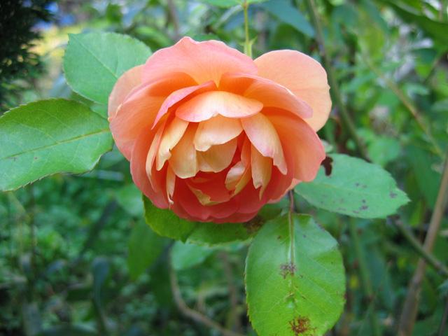 07.10.2005  Rose