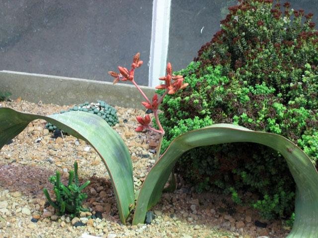 01.01.2006  Welwitschie