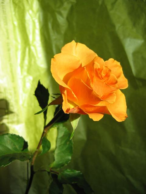 12.01.2006  Rose