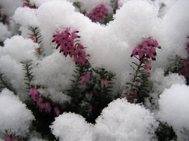 11.03.2006  Heidekraut unterm Schnee
