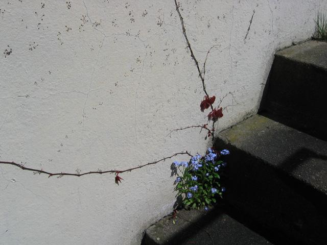 29.04.2006  Mauerblümchen