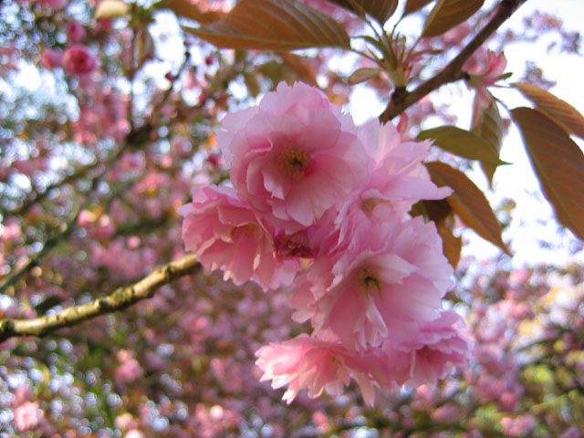 02.05.2006  Kirschblüte