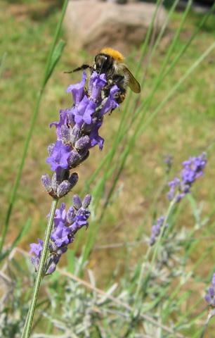 09.07.2006  Lavendelblüte mit Biene