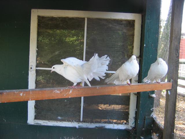 15.10.2006  Tauben, Haus Kannen