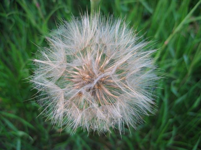 25.05.2007  Pusteblume