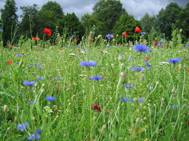22.06.2007  Blumenwiese