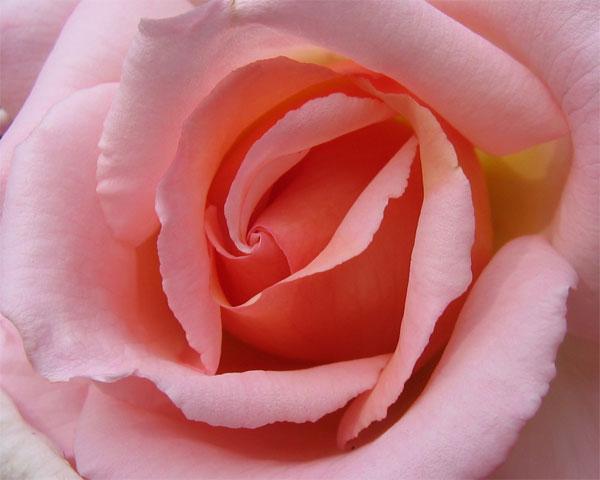 05.07.2008  Rose