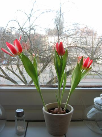 07.03.2009  Tulpen