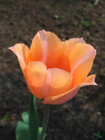 12.04.2009  Tulpe