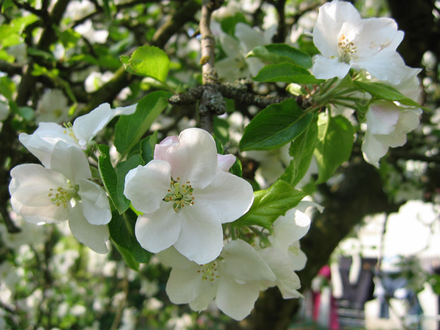 17.04.2009  Apfelblüte