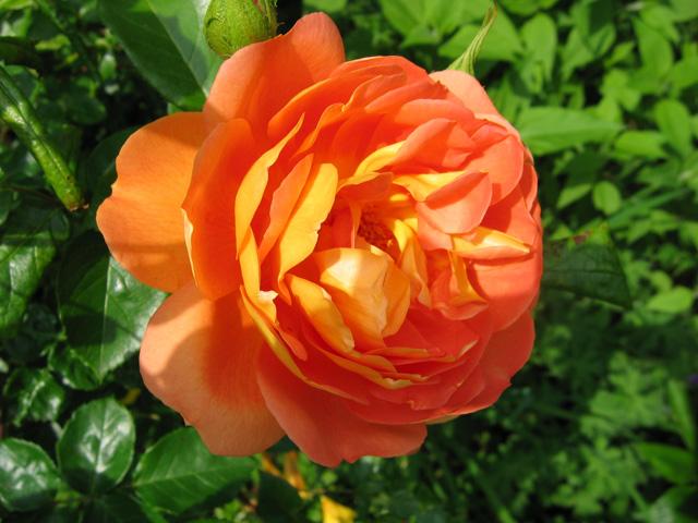 23.05.2009  Rose