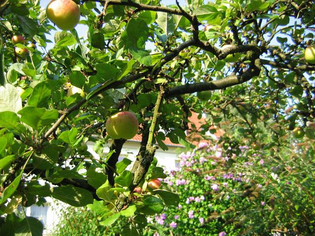 03.08.2009  Apfelbaum