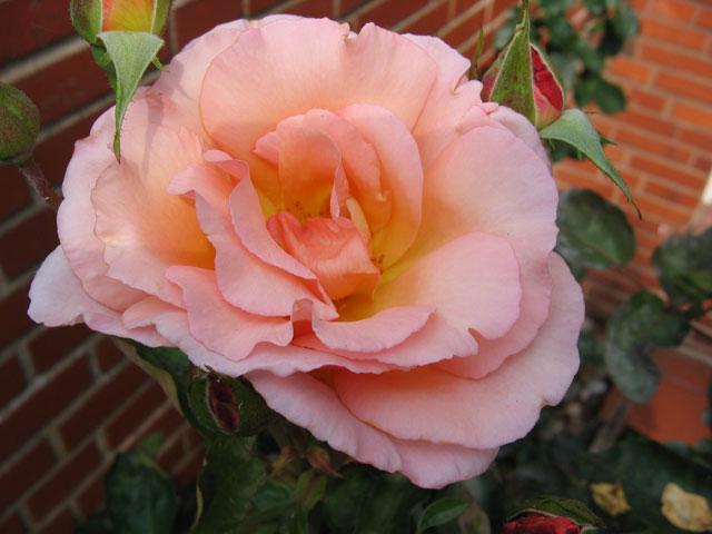 07.08.2009  Rose