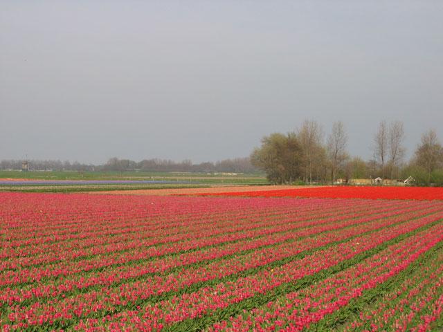 24.04.2010  Tulpenfeld