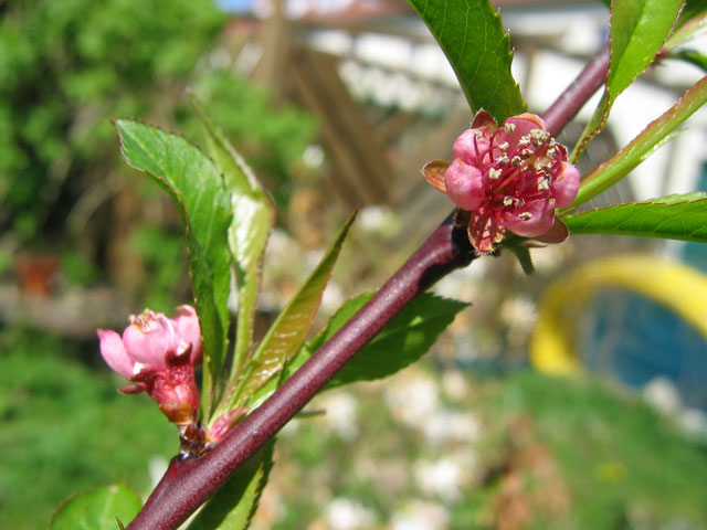 25.04.2010  Pfirsichblüten