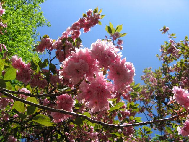 01.05.2010  Japanische Kirsche