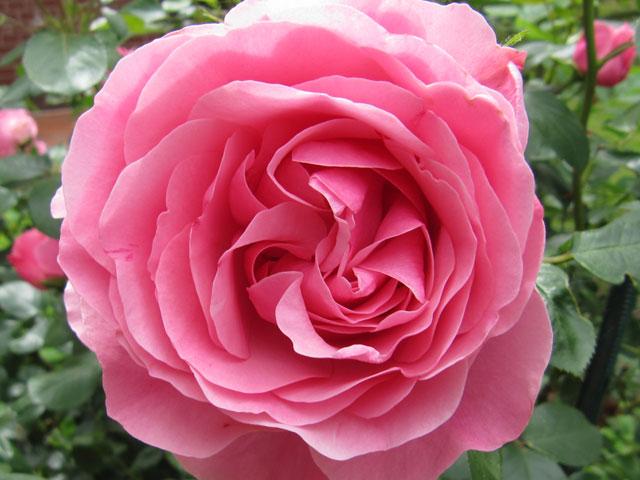 18.06.2010  Rose