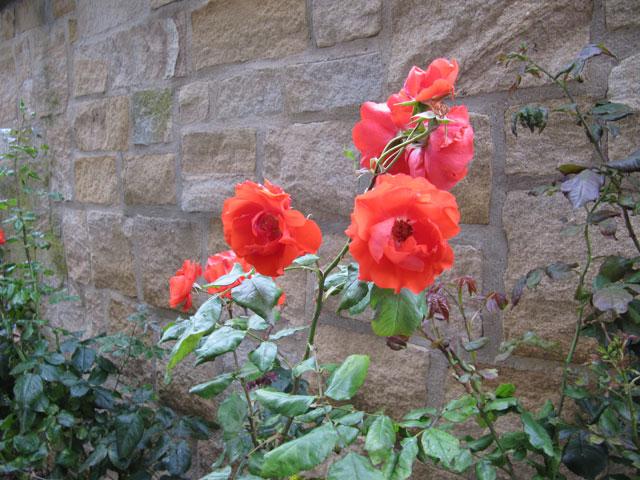 21.08.2011  Rose