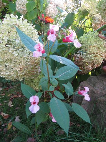 30.09.2011  Drüsiges Springkraut