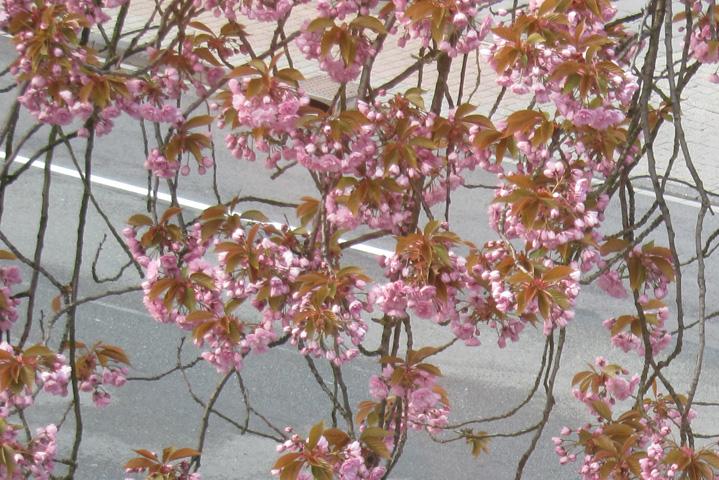 20.04.2012  Japanische Kirsche