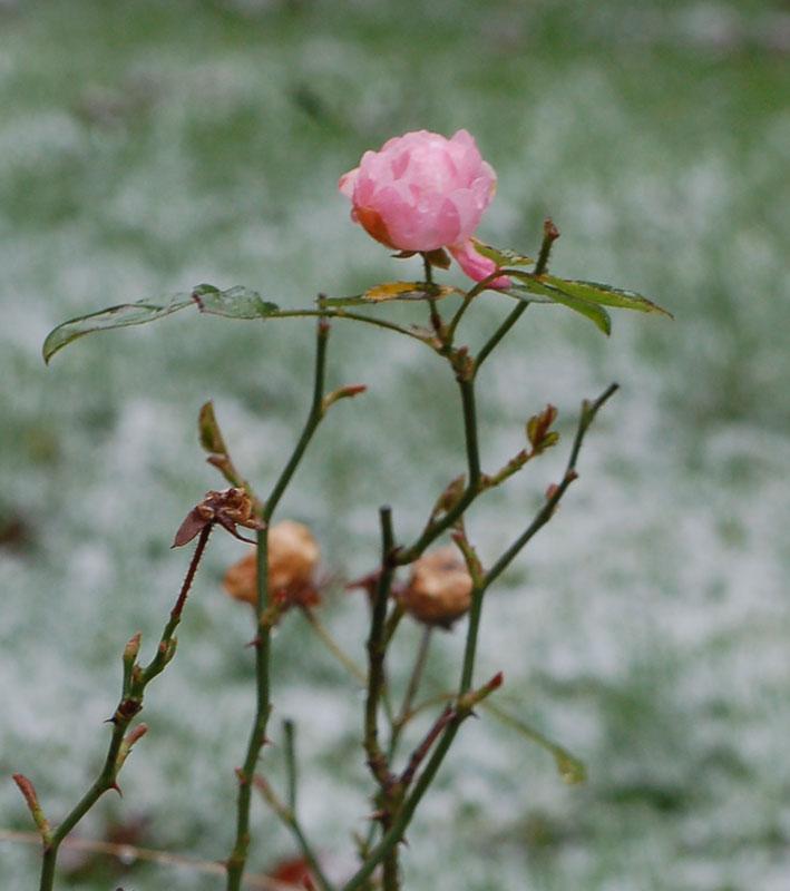 04.01.2016  Rosenblüte im Schnee