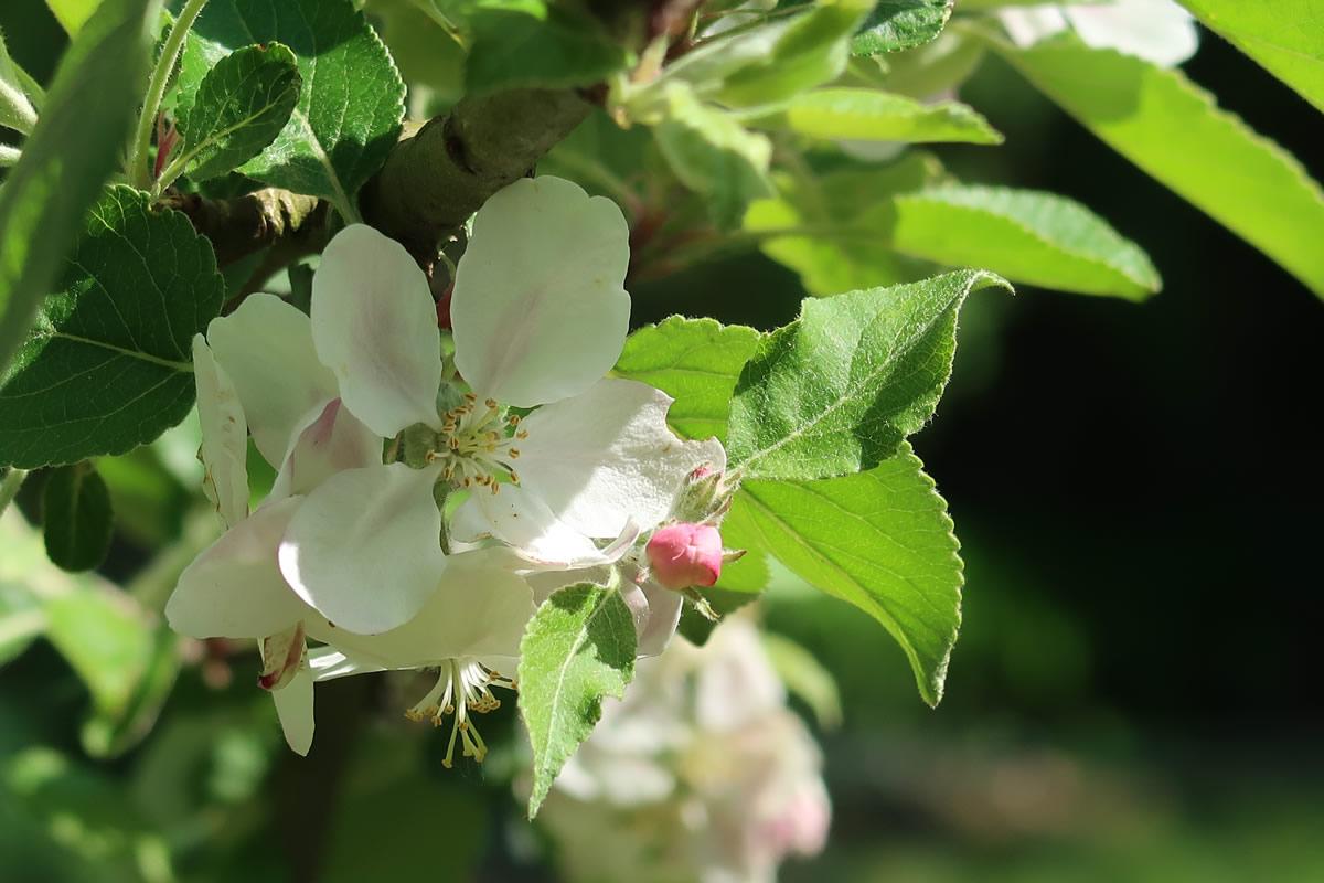 22.04.2019  Apfelblüte