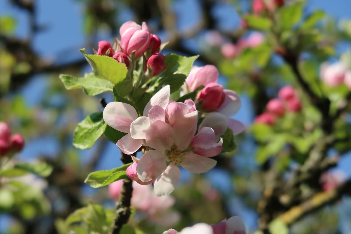 12.04.2020  Apfelblüten