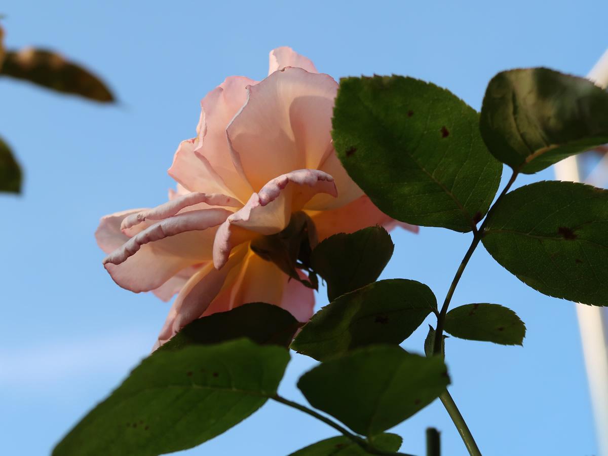 13.09.2020  Rose