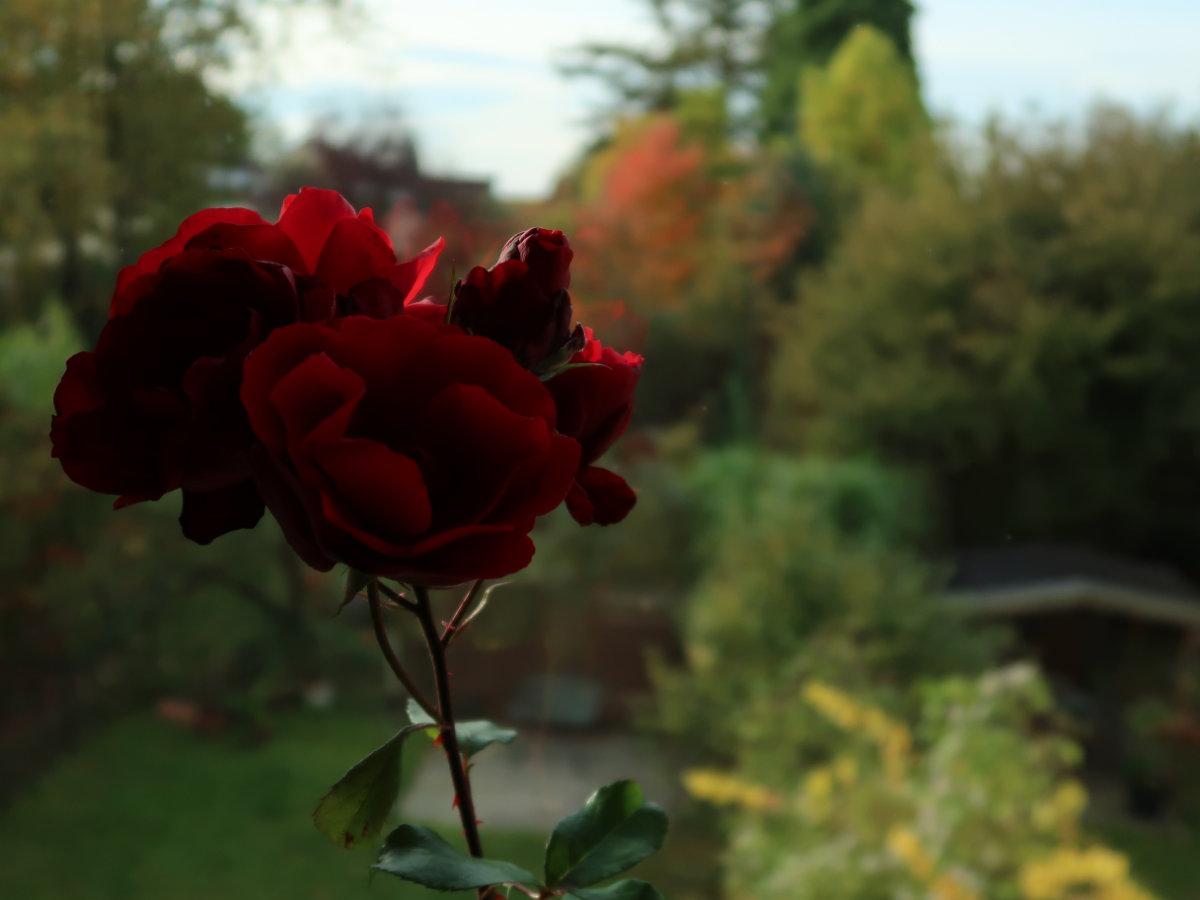 20.10.2020  Rose